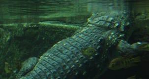 鳄鱼在水中游泳 股票录像