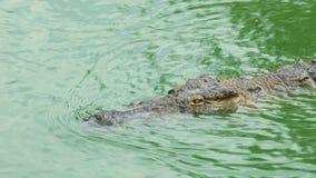 鳄鱼在水中游泳 股票视频