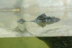 鳄鱼在水中 库存照片