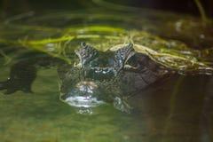 鳄鱼在水中 免版税库存图片