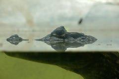 鳄鱼在水中 免版税库存照片