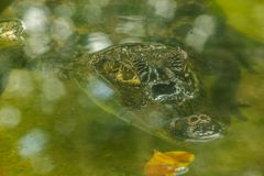 鳄鱼在水中 图库摄影