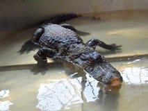 鳄鱼在水中tankscrocodile在储水箱,不用操刀 库存图片