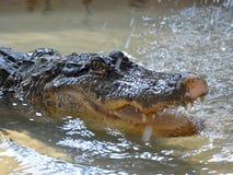 鳄鱼在水中tankscrocodile在储水箱,不用操刀 免版税图库摄影