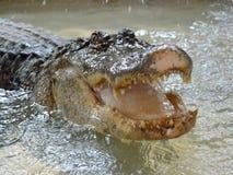 鳄鱼在水中tankscrocodile在储水箱,不用操刀 免版税库存图片
