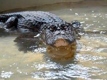 鳄鱼在水中tankscrocodile在储水箱,不用操刀 图库摄影