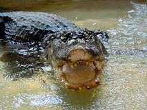 鳄鱼在水中tankscrocodile在储水箱,不用操刀 免版税库存照片
