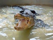 鳄鱼在水中tankscrocodile在储水箱,不用操刀 库存照片