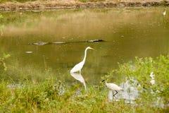 鳄鱼在池塘掩藏 免版税库存照片