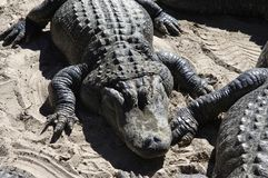 鳄鱼在池塘附近会集,圣奥斯丁的边缘鳄鱼农场,圣奥斯丁,FL 免版税库存照片