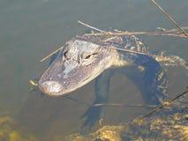 鳄鱼在池塘,鳄鱼mississippiensis,佛罗里达美国 免版税库存图片