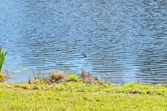 鳄鱼在池塘 免版税库存照片