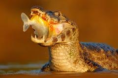 鳄鱼在河水的抓住鱼,平衡光 Yacare凯门鳄,与鱼的鳄鱼在有大牙的开放枪口,潘塔纳尔湿地,增殖比 库存照片