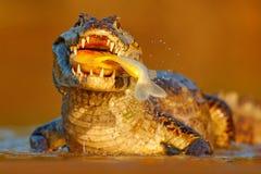 鳄鱼在河水的抓住鱼,平衡光 Yacare凯门鳄,与比拉鱼的鳄鱼在有大牙的开放枪口,潘塔纳尔湿地, 免版税库存图片
