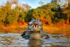 鳄鱼在河水的抓住鱼,平衡光 Yacare凯门鳄,与比拉鱼的鳄鱼在有大牙的开放枪口,潘塔纳尔湿地, 免版税图库摄影