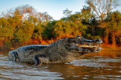 鳄鱼在河水的抓住鱼,平衡光 Yacare凯门鳄,与比拉鱼的鳄鱼在有大牙的开放枪口,潘塔纳尔湿地, 免版税库存照片