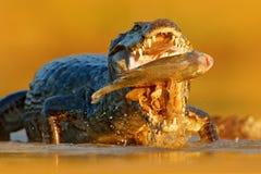 鳄鱼在河水的抓住鱼,平衡光 Yacare凯门鳄,与鱼的鳄鱼与有大牙的开放枪口, Pantana 免版税库存照片