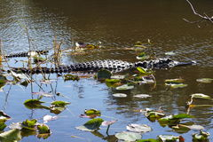 鳄鱼在沼泽地-佛罗里达-美国 库存图片