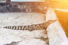 鳄鱼在泰国关闭  在美洲红树捉住的鳄鱼 免版税库存图片