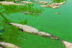 鳄鱼在泰国 图库摄影