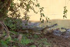 鳄鱼在湖休息在Yala国家公园,斯里兰卡 库存照片