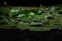 鳄鱼在热带密林 免版税库存图片