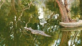鳄鱼在绿色水中游泳 鳄鱼农场芭达亚,泰国 股票录像