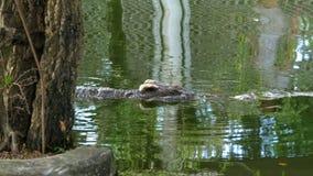 鳄鱼在绿色湿软的水中游泳 泥泞的沼泽的河 泰国 聚会所 影视素材