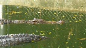 鳄鱼在绿色湿软的水中游泳 泥泞的沼泽的河 泰国 聚会所 股票视频