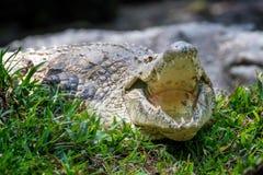 鳄鱼在肯尼亚,非洲的国家公园 库存图片