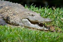 鳄鱼在肯尼亚,非洲的国家公园 库存照片