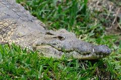 鳄鱼在肯尼亚,非洲的国家公园 免版税库存照片