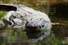 鳄鱼在肯尼亚,非洲的国家公园 图库摄影