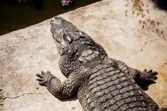 鳄鱼在阳光的池塘 库存照片