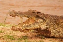 鳄鱼在非洲察沃国家公园 免版税库存照片