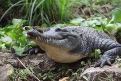 鳄鱼在非洲 库存照片