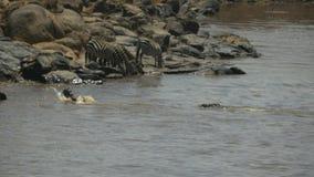 鳄鱼在马塞人玛拉比赛储备的玛拉河不幸地追逐一匹幼小角马 股票录像