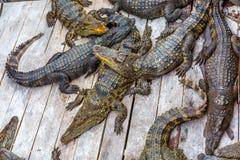 鳄鱼在鳄鱼农场晒日光浴 库存照片