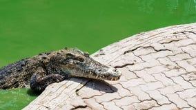 鳄鱼在鳄鱼农场的池塘在泰国 免版税图库摄影
