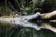 鳄鱼在水新加坡动物园里 免版税库存图片