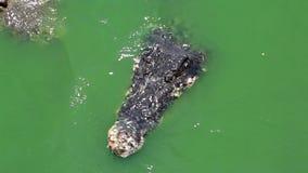 鳄鱼在绿色水中 影视素材