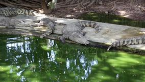 鳄鱼在水附近 股票录像