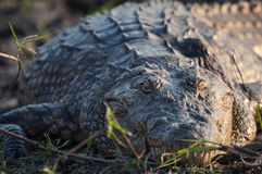 鳄鱼在Chobe河中,乔贝国家公园的河岸,在博茨瓦纳,非洲 免版税图库摄影
