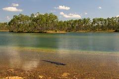 鳄鱼在Everglades湖 免版税库存图片