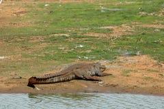 鳄鱼在Yala国家公园在斯里兰卡 免版税图库摄影