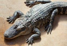 鳄鱼埋伏美国人 免版税库存照片