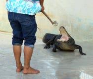 鳄鱼培训人 库存照片
