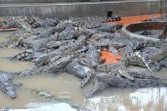 鳄鱼增长为肉,皮肤和为有趣的旅客和游人在一个农场在An Giang,一个省在湄公河 免版税库存照片