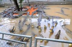 鳄鱼增长为肉,皮肤和为有趣的旅客和游人在一个农场在An Giang,一个省在湄公河 图库摄影