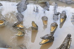 鳄鱼增长为肉,皮肤和为有趣的旅客和游人在一个农场在An Giang,一个省在湄公河 库存图片